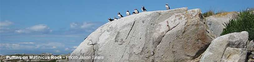 Puffins on Matinicus Rock